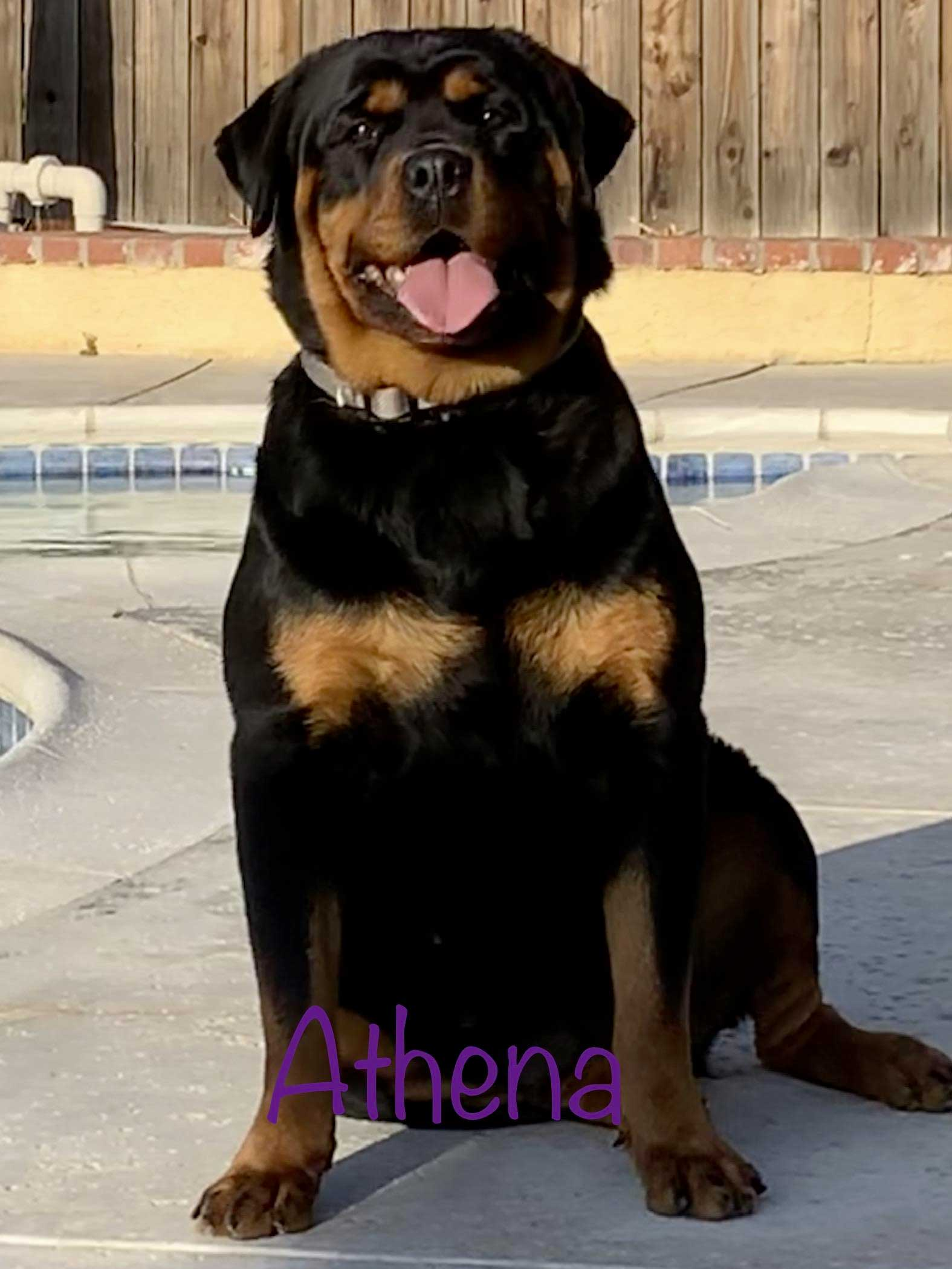 "Rumpi ""The Bear"" Vom Beni X Athena of Elite Rottweilers"